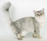 Chat Chantilly