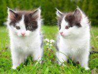 chat nain prix