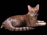 Chat Ocicat