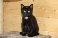 photo de chaton noir