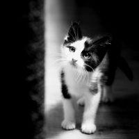 photo de chaton noir et blanc