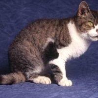 Race chat American wirehair