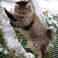 Race chat Bobtail des Kouriles