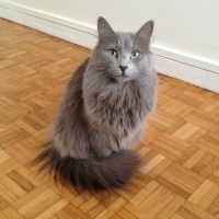 Race chat Nebelung
