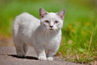 race de chat nain